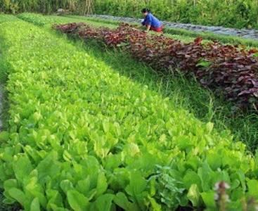 Dự án hồ sinh học nước tưới trang trại rau